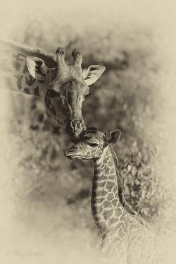 portrait bb et maman giraffe estempe
