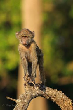 BB babouin branche 2