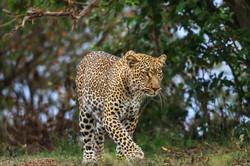 Léopard mâle site