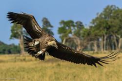 vautour fauve atterrissage 1