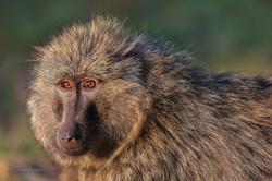 babouin portrait