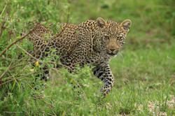 jeune leopard buisson