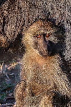 bb babouin 3_