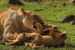 Lions calains 1