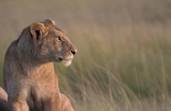 lion profil web