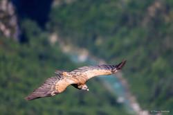vautour 6 vol verdon