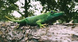 Green Gecko CG