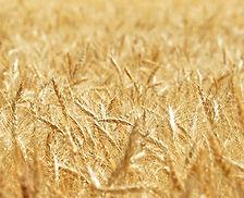 LCS Wheat.jpg