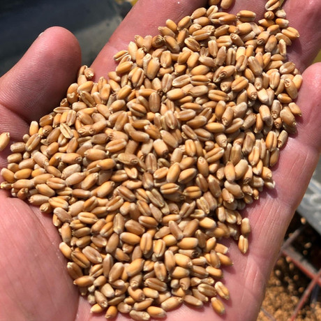 LCS Chrome Seed Wheat