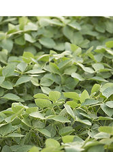 Croplan Soybeans.jpg