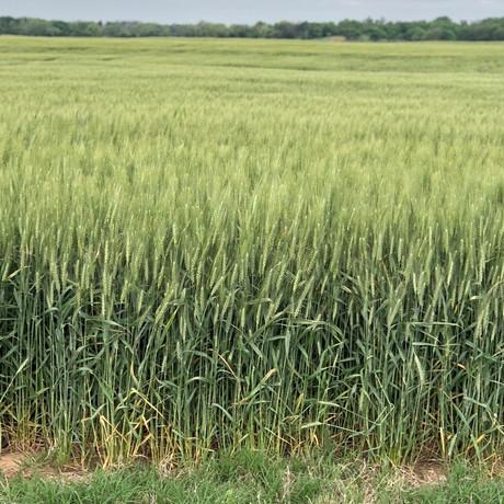 CoAxium Wheat - LCS Fusion AX