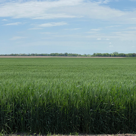 Got rye? This is what CoAxium wheat system with Agressor® Herbicide can do!