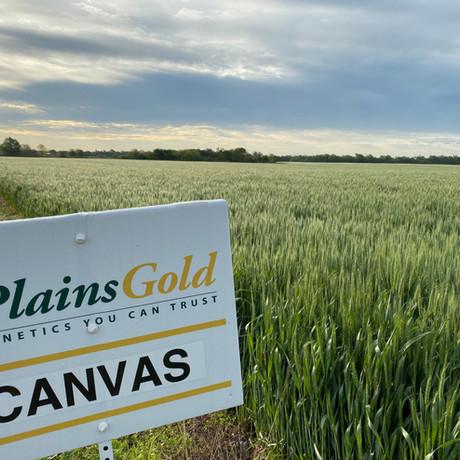 Plains Gold - Canvas