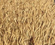 AgriMaxx Wheat.jpg