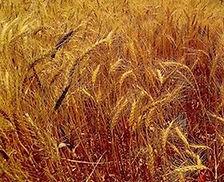 OGI Wheat.jpg