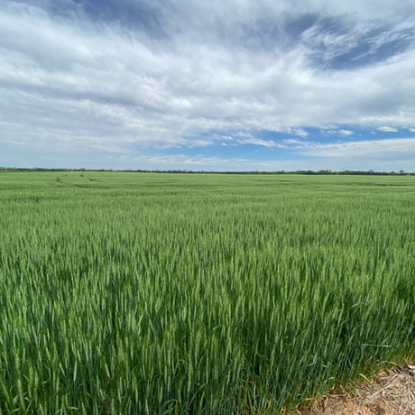 LCS Helix AX CoAxium Wheat. When used in conjunction with Aggressor herbicide you can remove Rye and Grassy species to maximize yield potential.