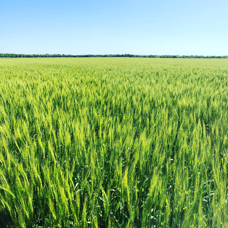 CoAxium Wheat by Plains Gold - Cresent AX