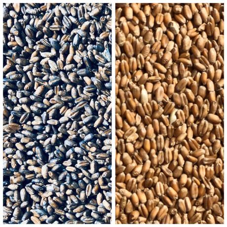 Seed Wheat Treatment with UAS N-Compass in Blue for CoAxium Varieties.