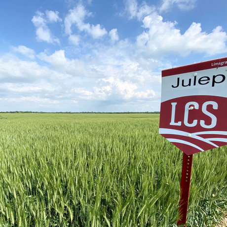 LCS Julep Conventional Wheat. Medium Maturity. High Yield Potential. Large Seed. High Tillering.