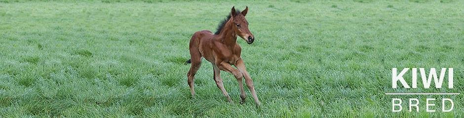 kiwi bred foal.jpg