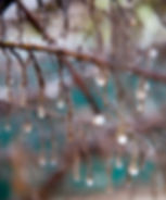 Branch with rain drops