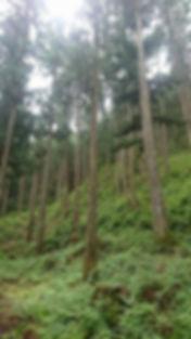 202008 吉野杉 山の写真 間伐.jpg