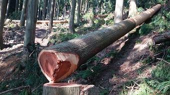 <第47稿>吉野杉の土用伐り