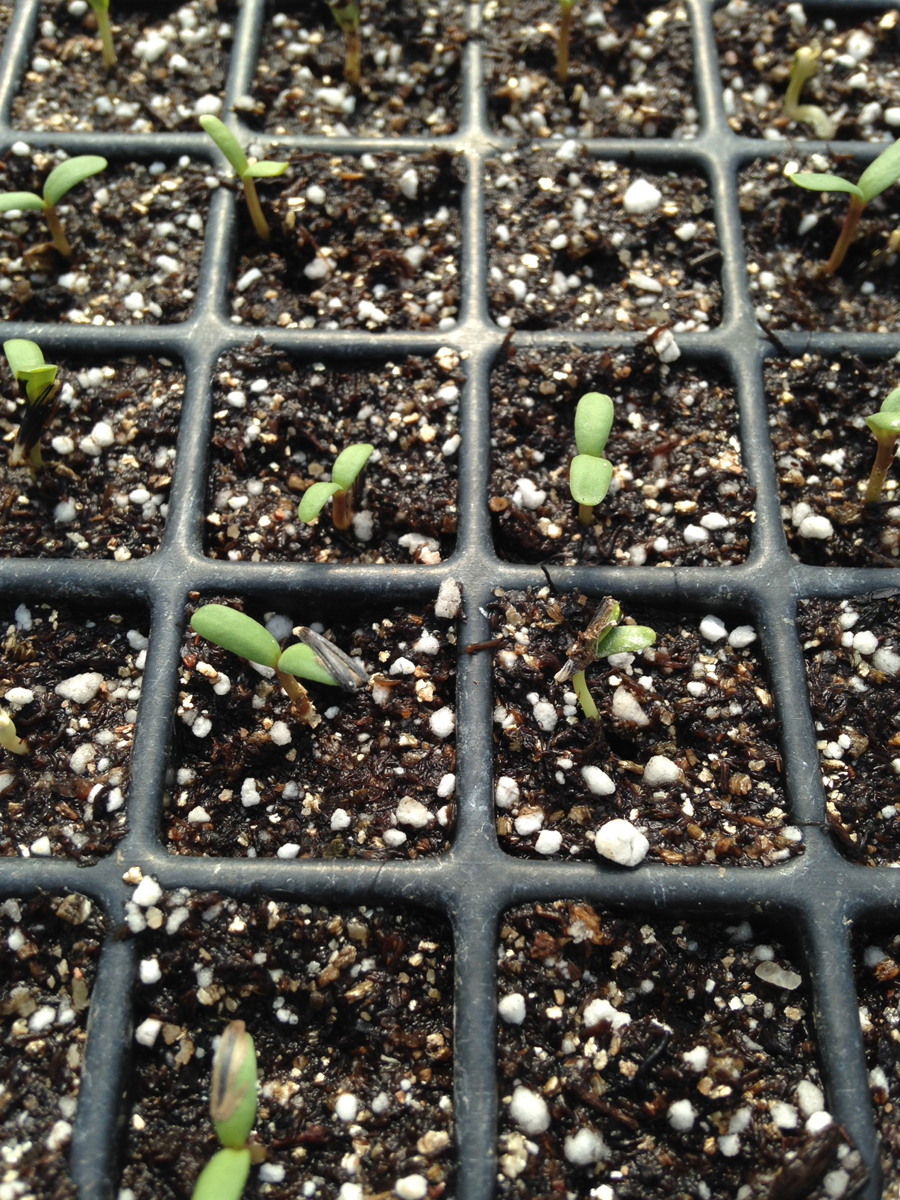 Marigold Seedlings.JPG