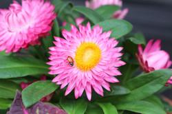 Strawflower ladybug