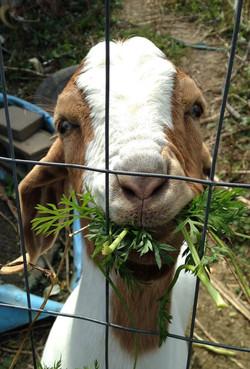 Pepper Goat.jpg