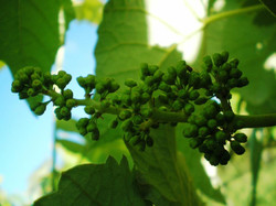 Cacho de uva - pós florescimento