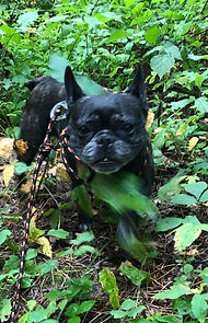 Our French Bulldog