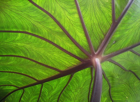 Taro_leaf_underside,_backlit_by_sun_-_ed