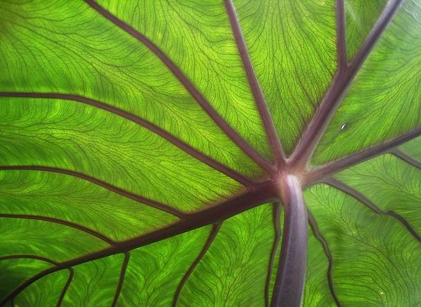 Taro_leaf_underside,_backlit_by_sun_-_ed