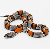 snake-striped.jpg
