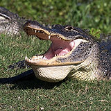 AlligatorSmile-GMP.jpg