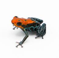 Dart_Frog.jpg