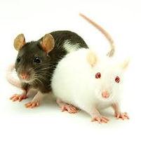 feeder_rats.jpg