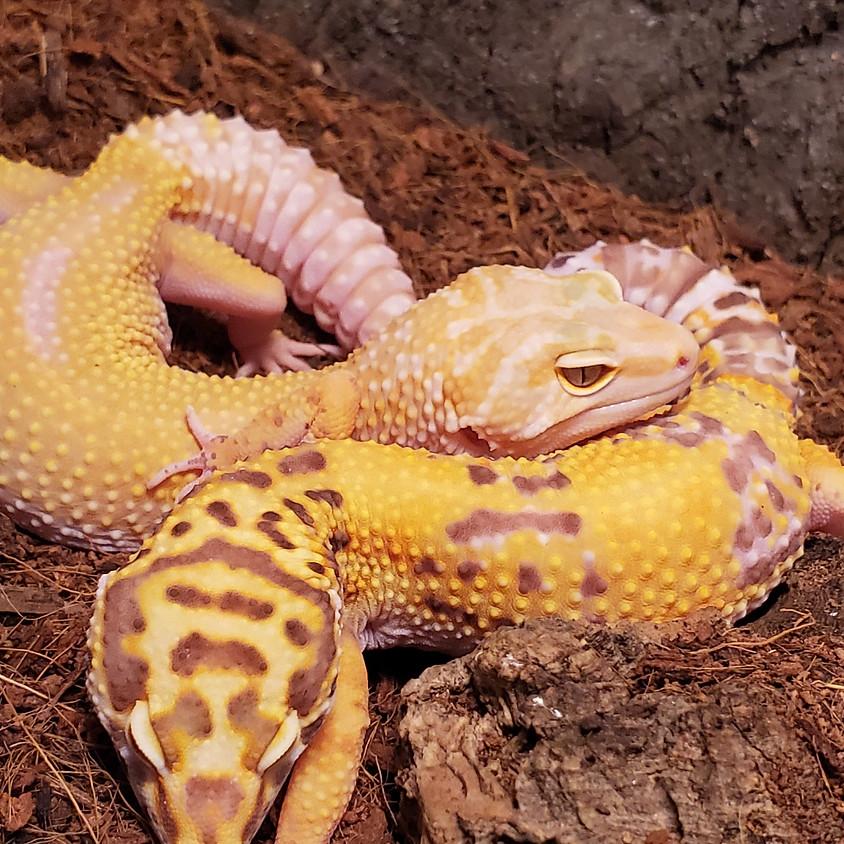 JR HERPERS CLUB: November Meeting: Geckos Galore!