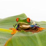 Tree Frog-.jpg