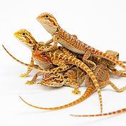 Baby Bearded Dragons.jpg
