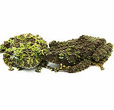 Vietnamese_Mossy_Frog_Couple-GMP.jpg