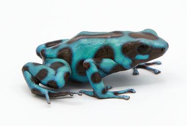 Blue Dart Frog.jpg