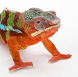 Panther Chameleon II.jpg