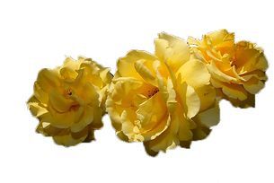 yellow rose of texas.png