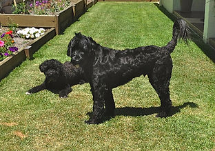 Portuguese Water Dogs Porties PWD