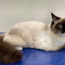 Ragdoll Cat Comb Clip