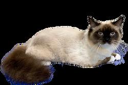 Ragdoll Cat Grooming Brisbane