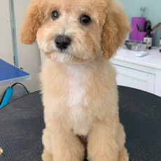Baby Cavoodle, after first groom