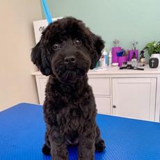 Black Cavoodle Puppy